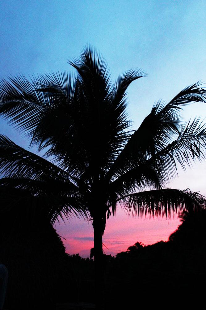 panama-palm-tree